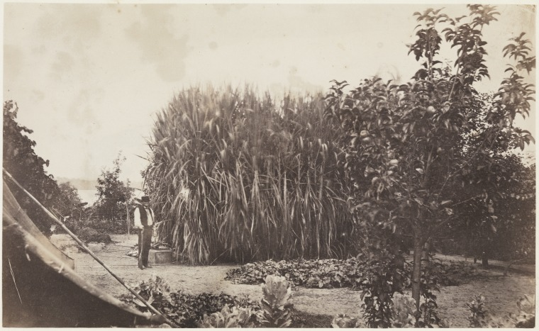 Sugar cane in the garden of Strawberry Hill residence of A.P. Burt, Adelaide Terrace, Perth (photograph by Stone Alfred Hawes, 1862, via the State Library of Western Australia/6923B182)