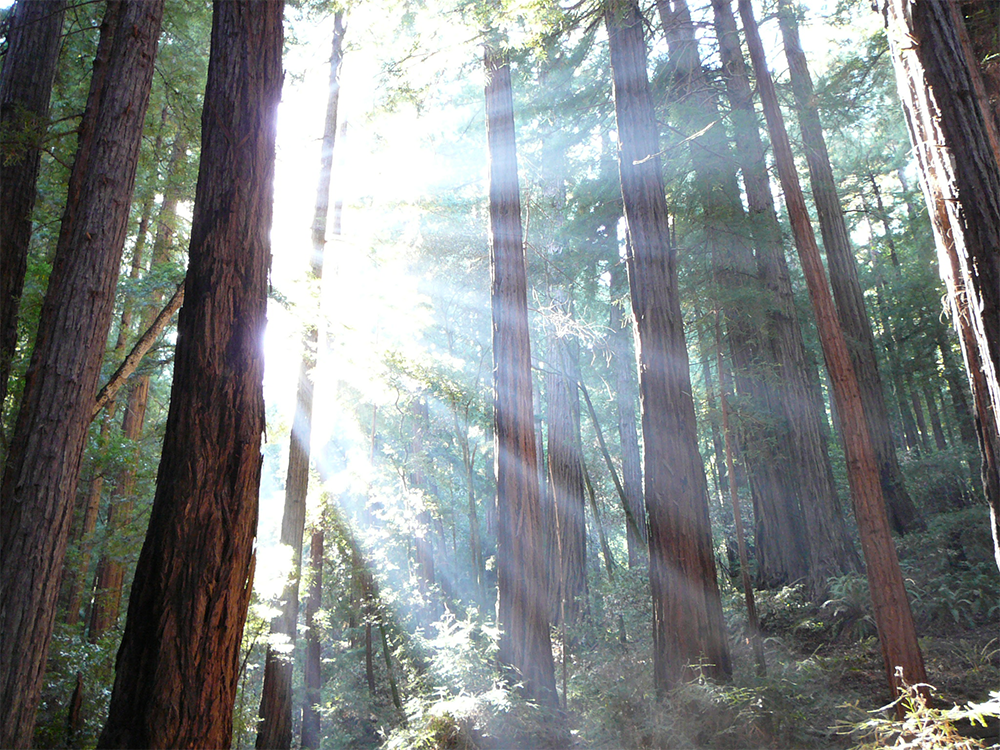 Sunlight coming through some redwoods (Sequoia sempervirens) in the Muir Woods National Monument in California