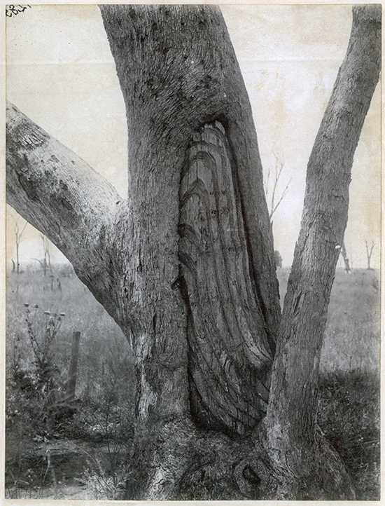Carved eucalypt Among Trees ABR Online October 2017