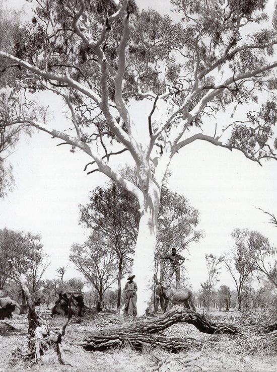 Ghost Gum Western MacDonnell Ranges Among Trees ABR Online October 2017