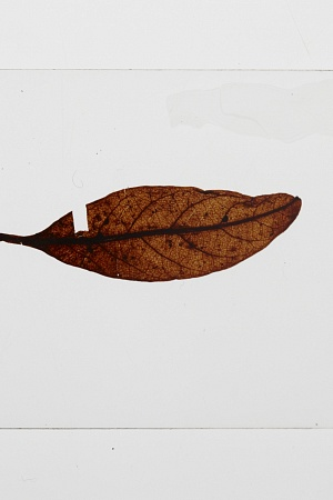 Lauraceae, fossil leaf. Registration no. P 231195 (photograph by Jon Augier, copyright Museums Victoria)