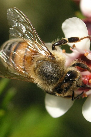 Honey bee on Geraldton Wax Flower, NSW, Australia (2005)