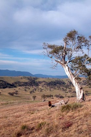 Snowgum by Steve Mathews