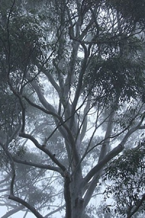 gum trees cropped