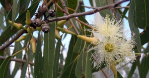 'An evergreen canopy: The alluring and resilient eucalypt' by Bianca Le